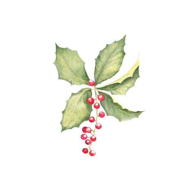Ilex vomitoria; Youpon Holly
